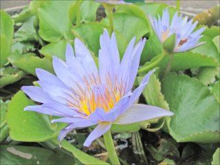 Blaue ägyptische Seerose