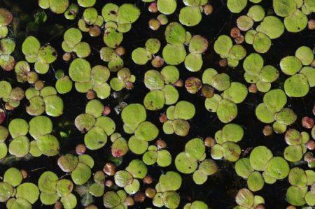Vielwurzelige Wasserlinse