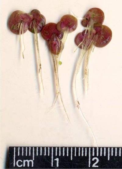 Die rote Blattunterseite und die langen Wurzeln sind charakteristisch für die Vielwurzelige Wasserlinse