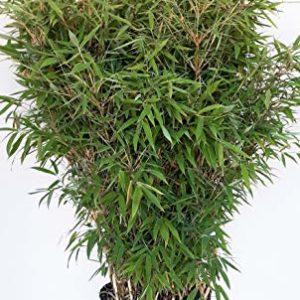 Bambus Am Gartenteich
