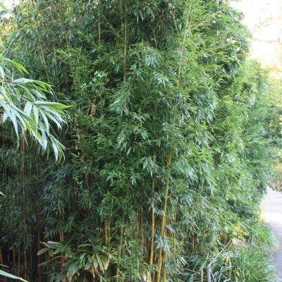 Großer Bambus