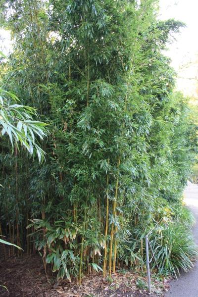 bambus am gartenteich gartenteich ratgeber. Black Bedroom Furniture Sets. Home Design Ideas