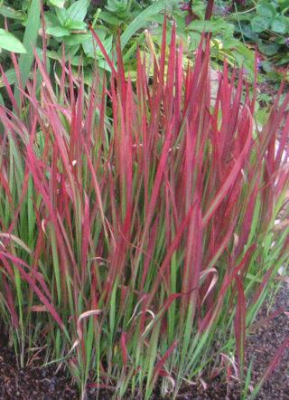 Japanisches Blutgras - Imperata cylindrica