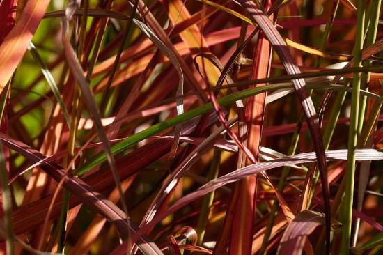 """Chinaschilf Miscanthus sinensis """"Ferner Osten"""""""