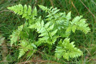 Dornfarn - Dryopteris carthusiana