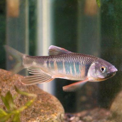 Drachenfisch Zacco platypus