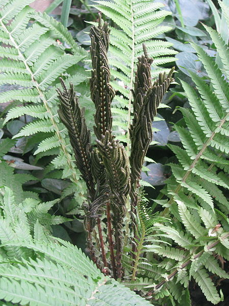 Grüne sterile und braune fertile, sporentragende Blätter des Straußenfarns Matteuccia struthiopteris