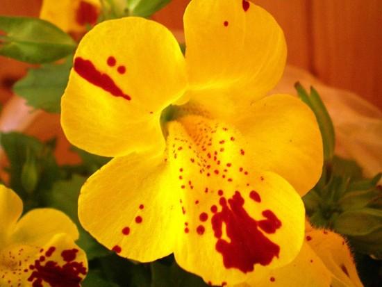 Nahaufnahme der Gauklerblume