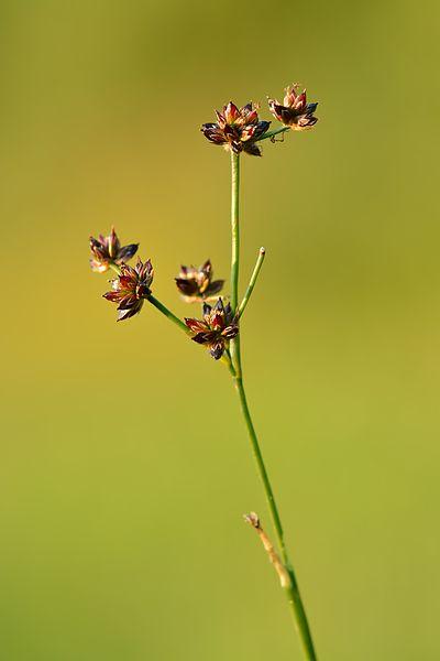 Blütenstand der Glanzbinse Juncus articulatus