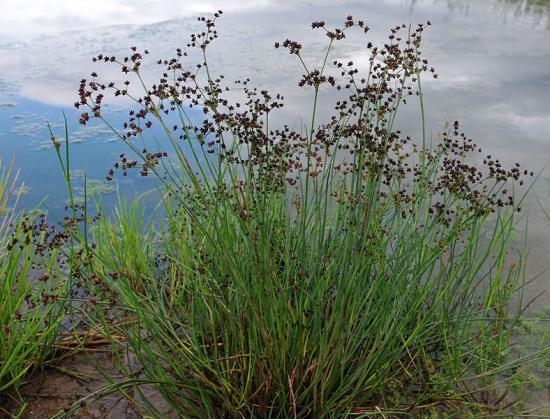 Glanzbinse - Juncus articulatus
