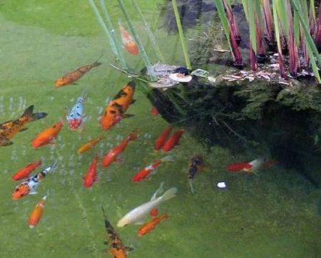 Ein Goldfischschwarm im Gartenteich