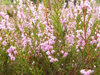 Heidekraut oder Besenheide - Calluna vulgaris