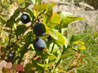Heidelbeere - Vaccinium myrtillus