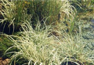 Japan-Segge - Carex morrowii
