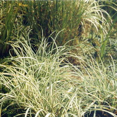 Japan-Segge - Carex morrowii