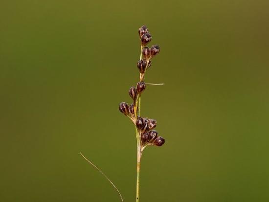 Der Blütenstand der Knollenbinse