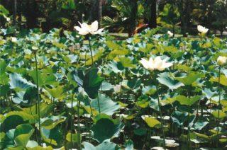 Die Lotusblume - Nelumbo spec