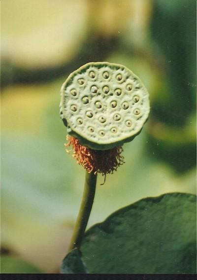 Fruchtstand einer Lotusblume