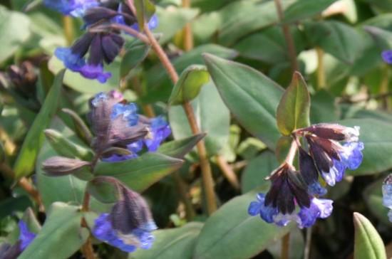 Das blaublühende Azurblaue Lungenkraut Pulmonaria angustifolia Azurea