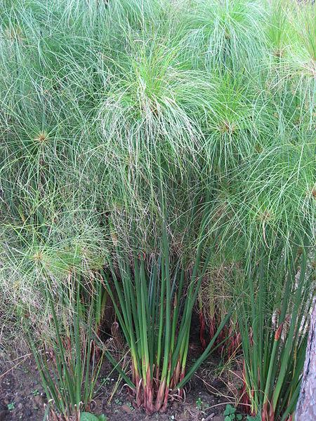 Die Papyrusstaude - Cyperus papyrus
