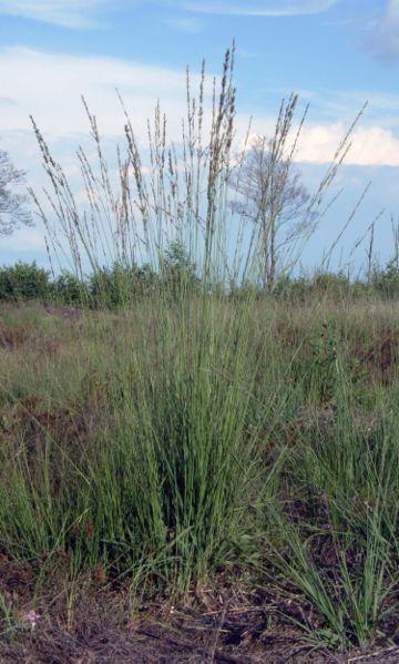 Das Blaue Pfeifengras - Molinia caerulea