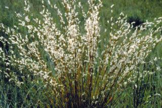 Präriegras - Schizachyrium scoparium