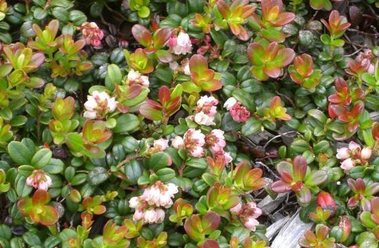Blühende Preiselbeerpflanzen