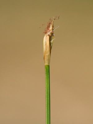 Blütenstand der Rasensimse