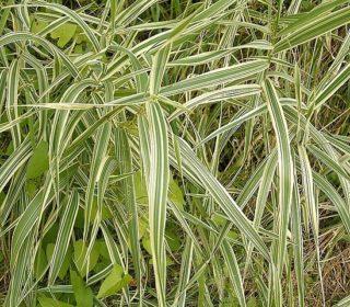 Rohrglanzgras - Phalaris arundinacea