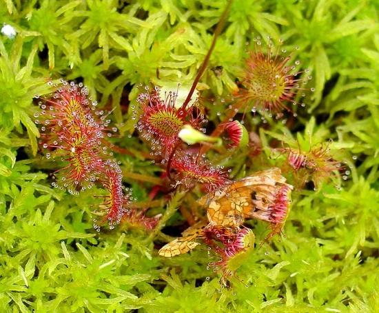 Rundblättrige Sonnentau - Drosera rotundifolia