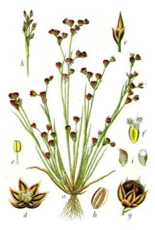 Sandbinse - Juncus tenageia