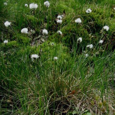 Scheidige Wollgras - Eriophorum vaginatum