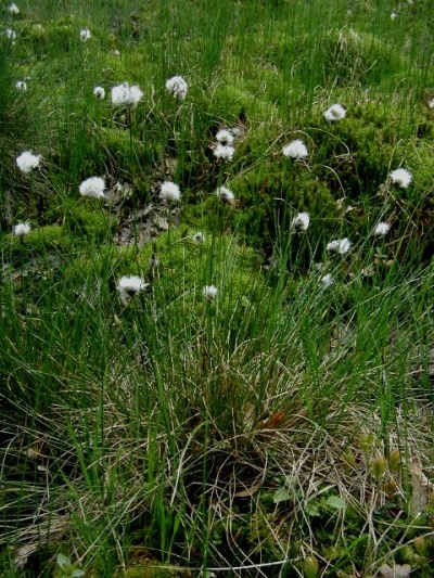 Scheidige Wollgras - Eriophorum vaginatum
