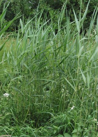 Schilfrohr - Phragmites australis