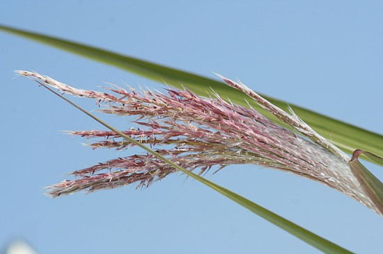Blütenähre des Schilfrohrs