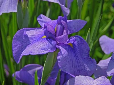 Japanische Sumpfiris Iris ensata