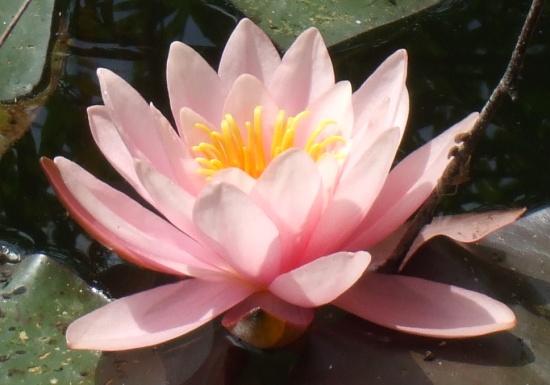 Blüte einer Seerose