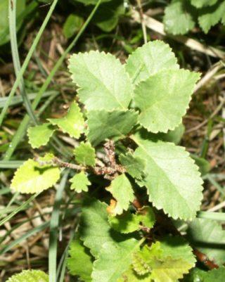 Strauchbirke - Betula humilis