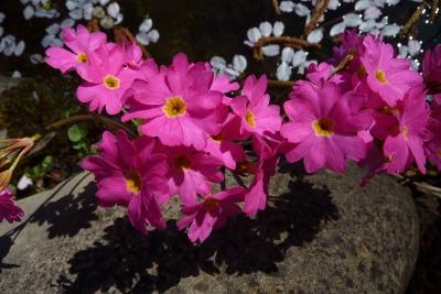 Sumpf-Primel Primula rosea