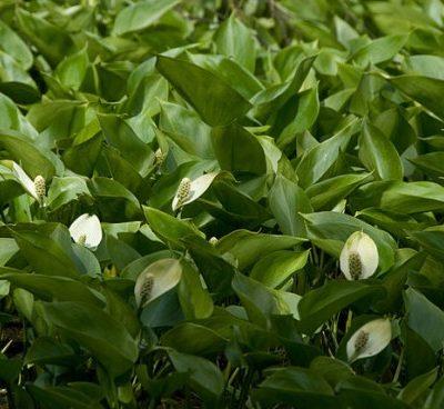 Sumpfcalla - Calla palustris
