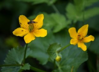 Blüte der Sumpfdotterblume