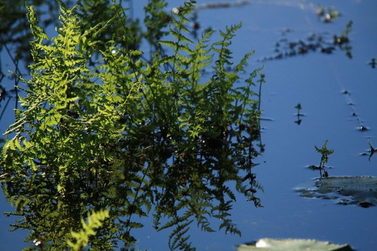 Sumpffarn - Thelypteris palustris