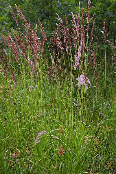 Sumpfreitgras - Calamagrostis canescens