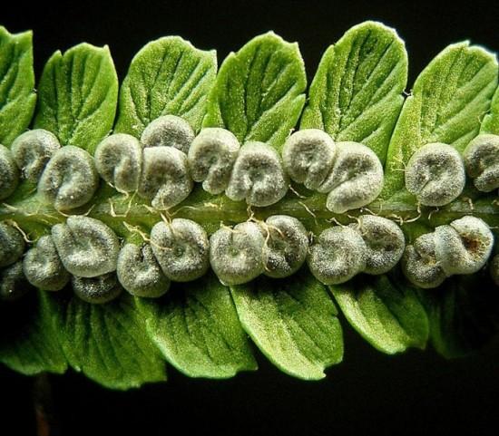 Unterseite eines Fiederblattes mit unreifen Sori des Wurmfarns