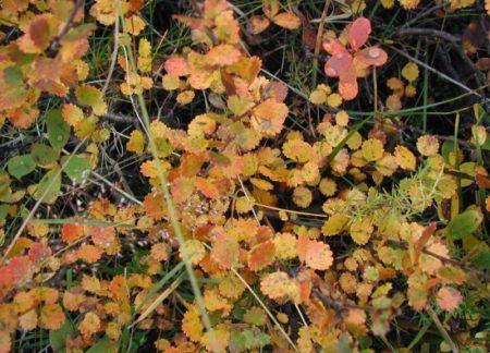 Zwergbirke - Betula nana