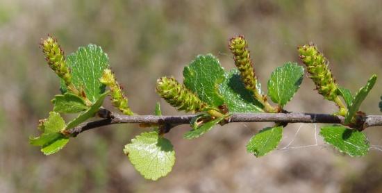 Einzelner Zweig der Zwergbirke mit männlichen Blüten