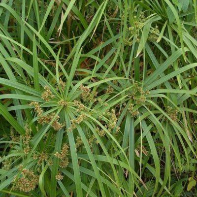 Das Zyperngras - Cyperus alternifolius