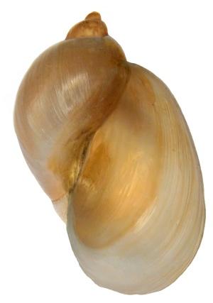 Eiförmige Schlammschnecke