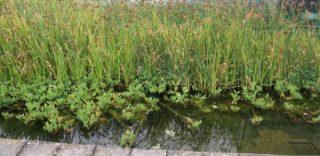 Pflanzen im Filtergraben