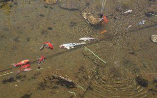 Wieviele Fische im Gartenteich